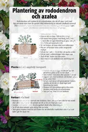 10. Plantering av rododendron