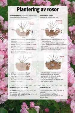 11. Plantering av rosor