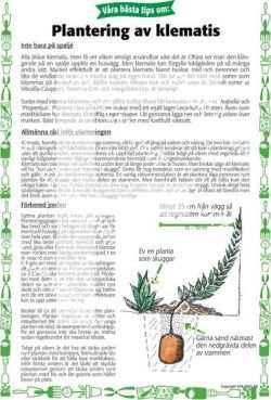 13. Plantering av klematis