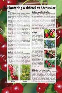 21. Plantering och skötsel av bärbuskar