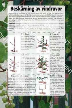 3. Beskärning av vindruvor