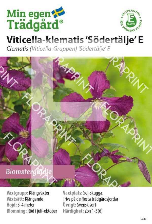 Cl Viticella 'Södertälje' E_HR