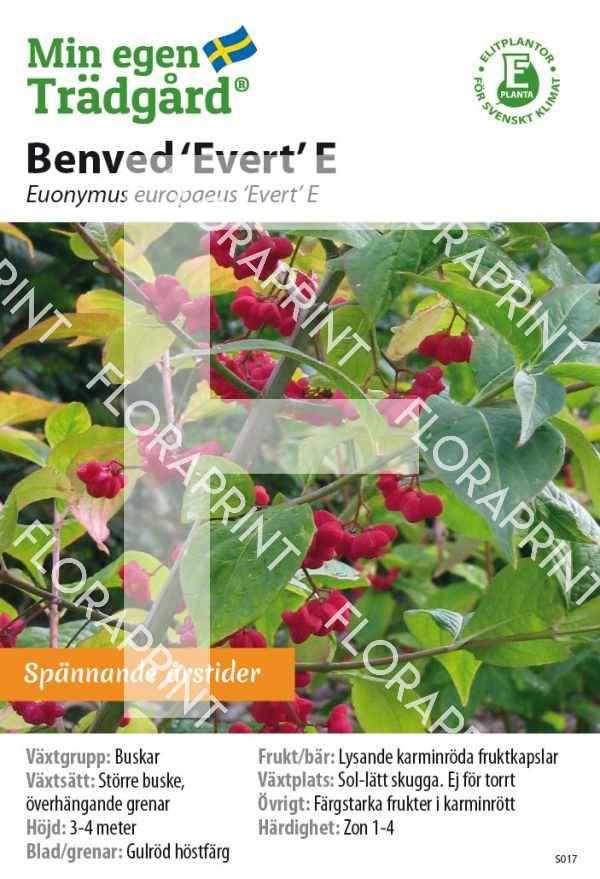 Euonymus europaeus 'Evert' E_HR