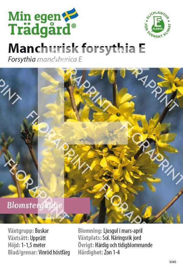 Forsythia mandshurica E_HR