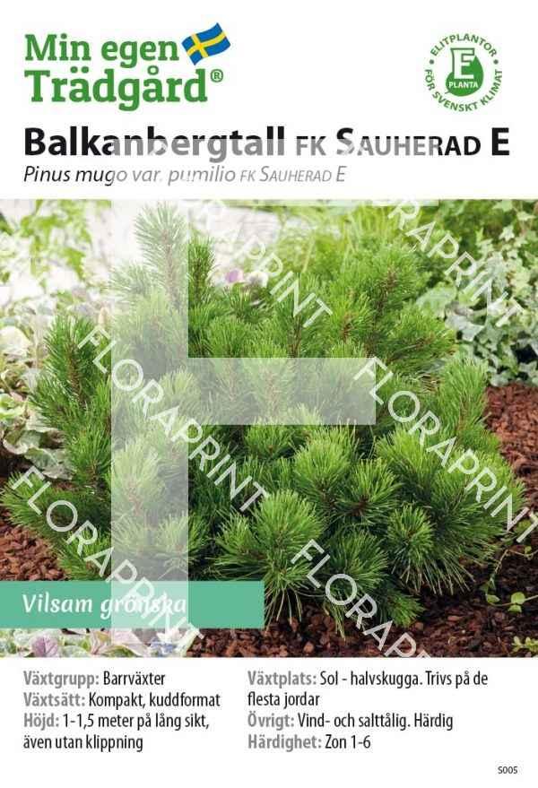 Pinus mugo FK SAUHERAD E_HR