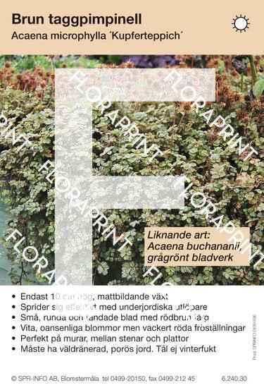 Acaena microphylla Kupferteppich (sorter:)