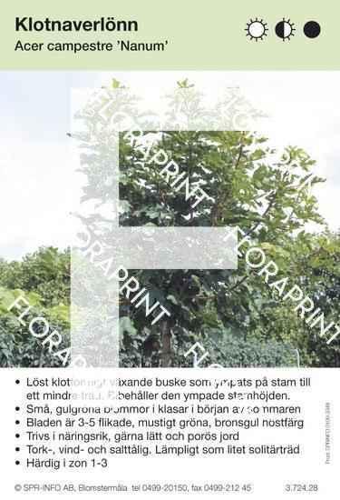 Acer campestre Nanum