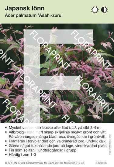 Acer palmatum Asahi-zuru