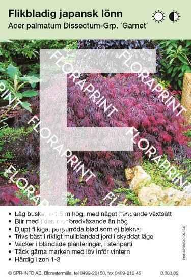 Acer palmatum Garnet