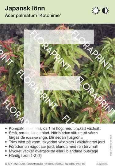 Acer palmatum Kotohime