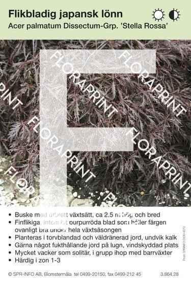 Acer palmatum Stella Rossa