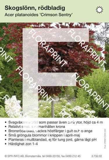 Acer platanoides Crimson Sentry