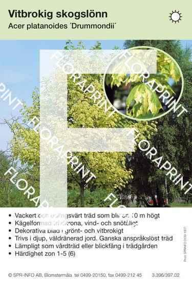 Acer platanoides Drummondi