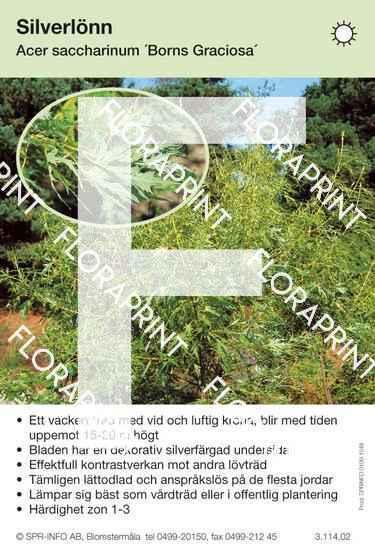 Acer saccharin. Borns Graciosa