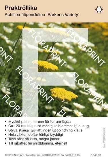 Achillea filipendulina Parker´s Variety