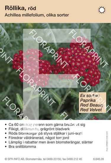 Achillea millefolium (röd) sorter: