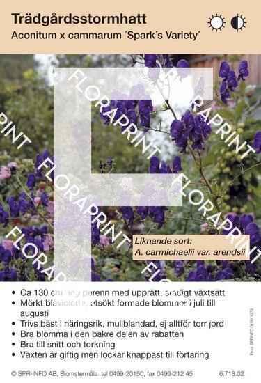 Aconitum cammarum Spark´s Variety (sorter:)