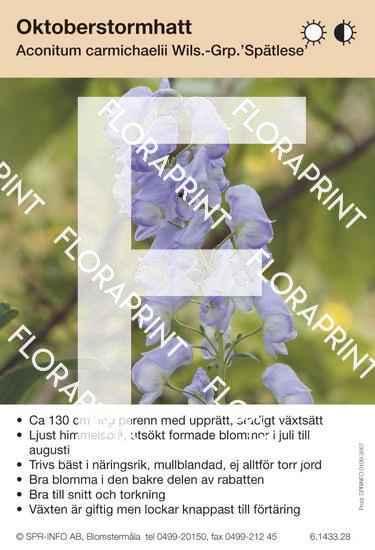 Aconitum carmichaelii Spätlese