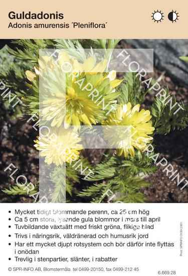 Adonis amurensis Pleniflora