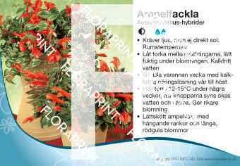 Aeschynanthus-hybrider