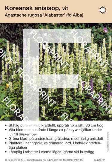 Agastache rugosa Alabaster (fd Alba)