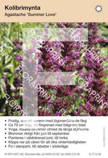 Agastache Summer Love