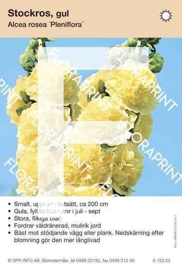 Alcea rosea Pleniflora