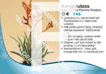 Anigozanthos Flavidus-Gruppen
