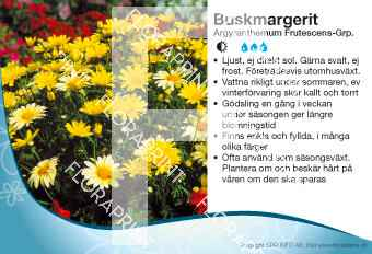 Argyranthemum Frutescens-Grp.