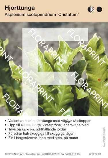Asplenium scolopendrium Cristatum