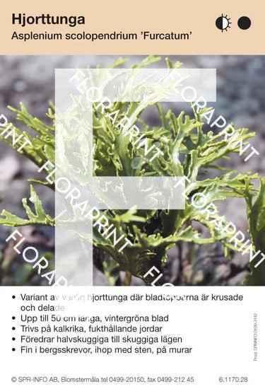 Asplenium scolopendrium Furcatum