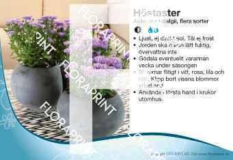 Aster novi-belgii