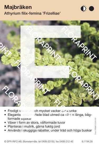 Athyrium filix-femina Frizelliae