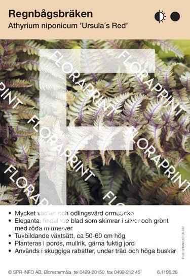 Athyrium niponicum Ursula Red