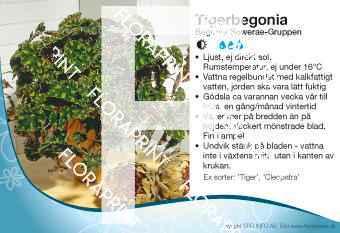 Begonia Bowerae-Gruppen