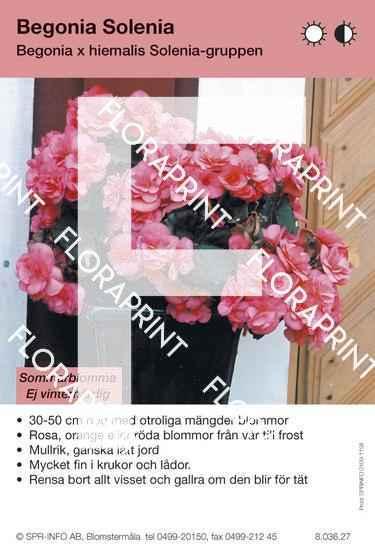 Begonia hiemalis Solenia-grp