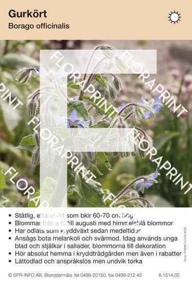 Borago officinalis