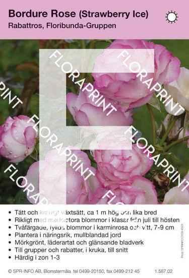 Bordure Rose (syn Strawberry Ice)