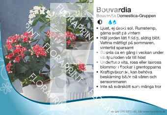 Bouvardia Domestica-Gruppen