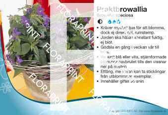 Browallia speciosa