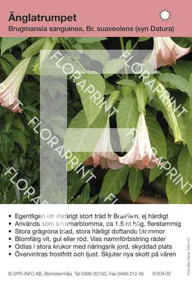 Brugmansia (datura) olika arter