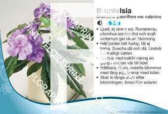 Brunfelsia pauciflora var. calycina
