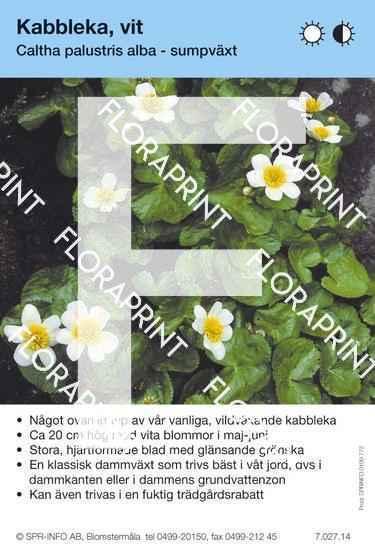 Caltha palustris alba