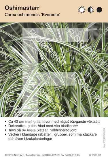 Carex oshimensis Evereste