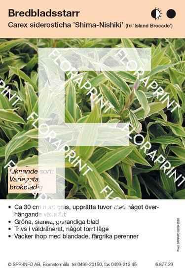 Carex siderosticha Shima-Nishiki (fd Island Brocade)