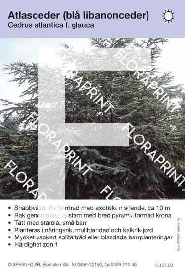 Cedrus atlantica f. glauca