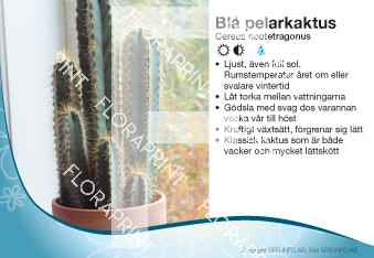 Cereus neotetragonus