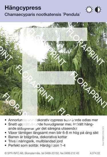 Chamaecyparis nootk Pendula