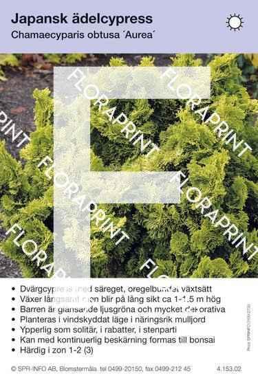 Chamaecyparis obtusa Aurea