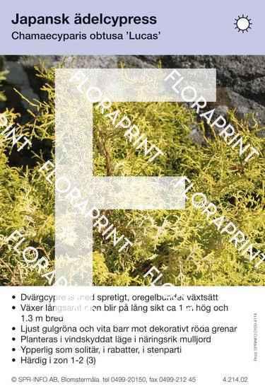 Chamaecyparis obtusa Lucas